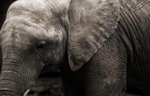 elephants-4438284_1920